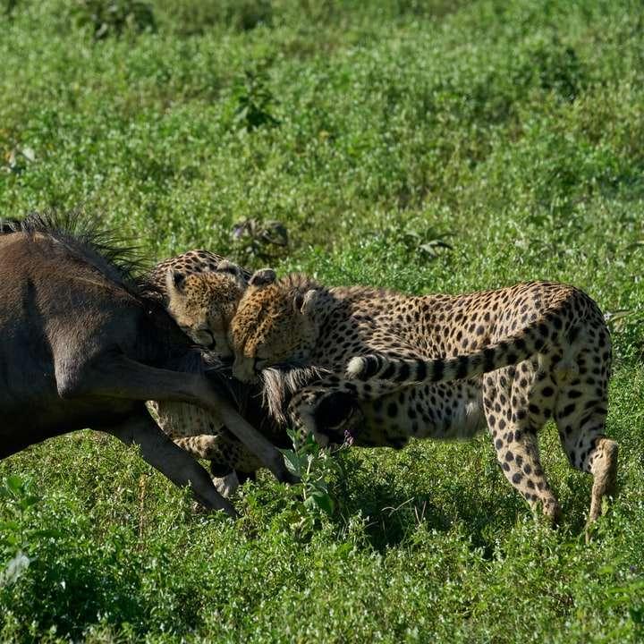 brown and black cheetah walking on green grass field