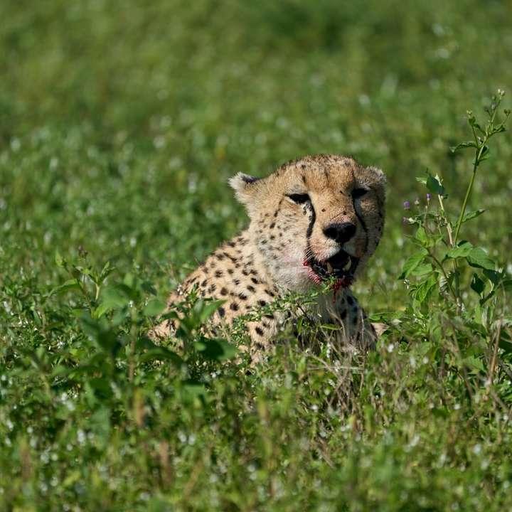 cheetah on green grass field during daytime