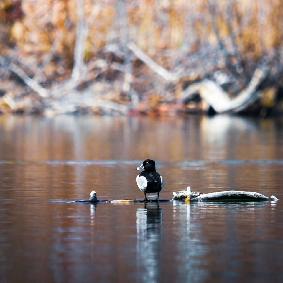 black duck on water during daytime online puzzle