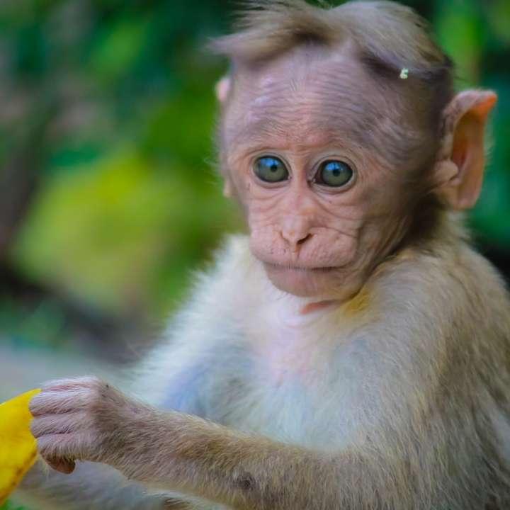 brown monkey holding fruit peel