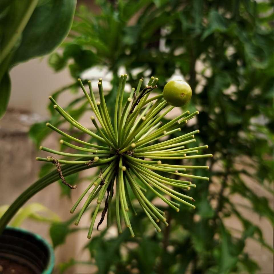 green round fruit in black pot