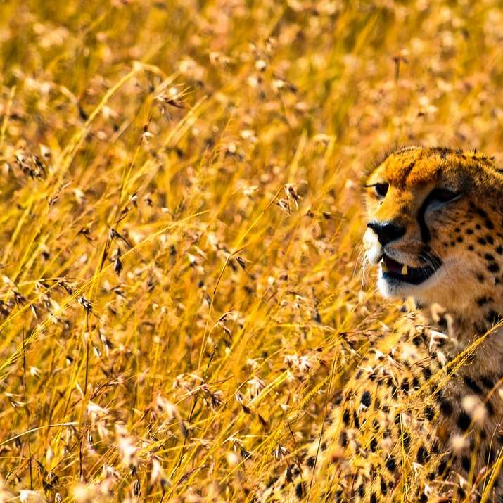 cheetah on yellow grass field during daytime