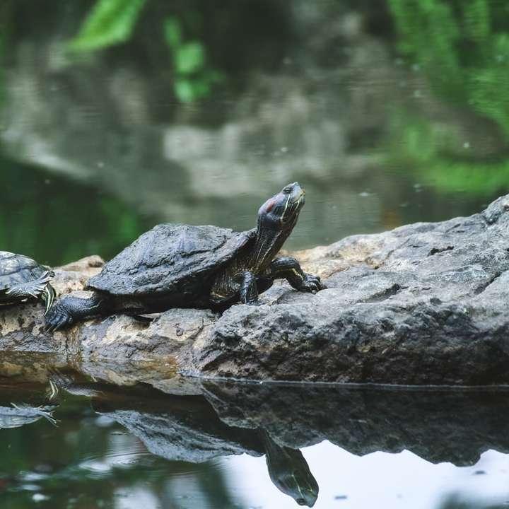 two black turtles