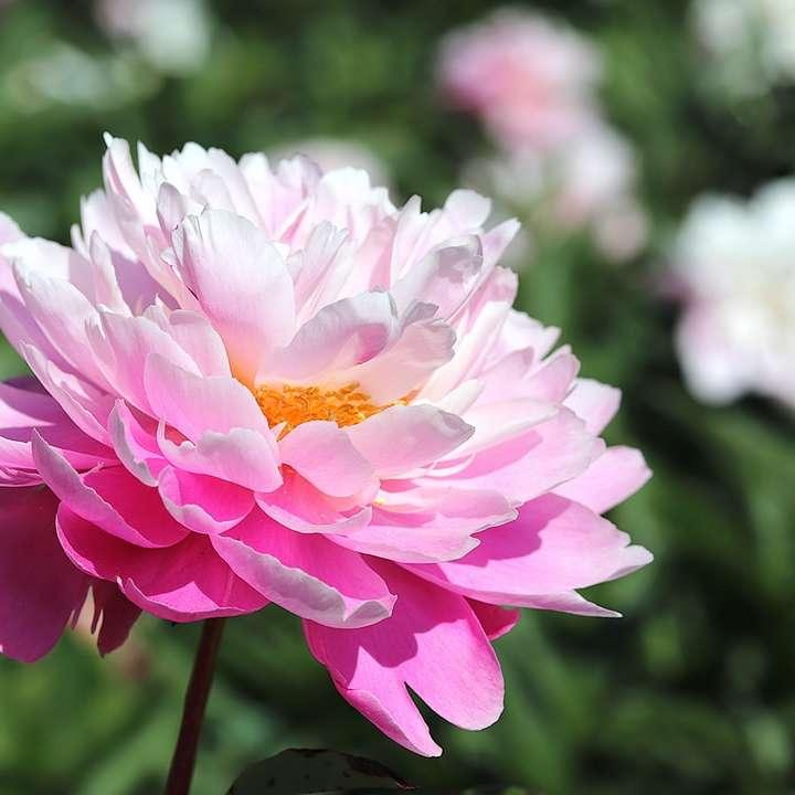 pink and white flower in tilt shift lens online puzzle