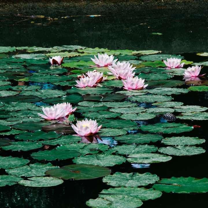 waterlilies during daytime